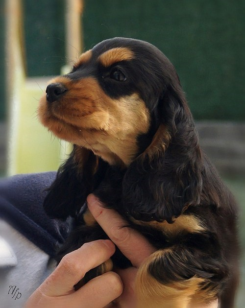 cocker spaniel dogs puppies ears cyoot puppy ob teh day - 6917003008