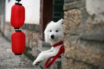 dogs samoyed siberia goggie ob teh week Fluffy - 6917016832