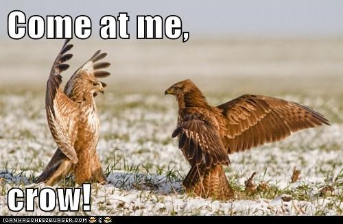 birds,come at me bro,wings,fighting,vultures,crow