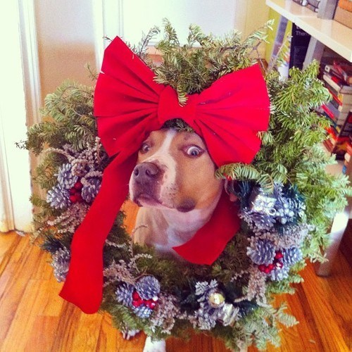 christmas,wreath,dogs,funny,animals,holidays