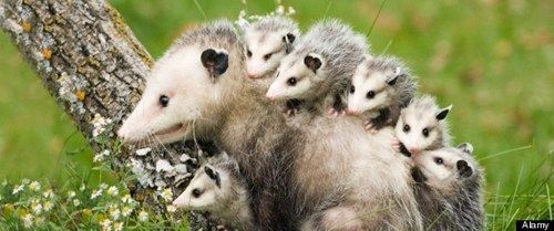 Babies opossums creepicute squee