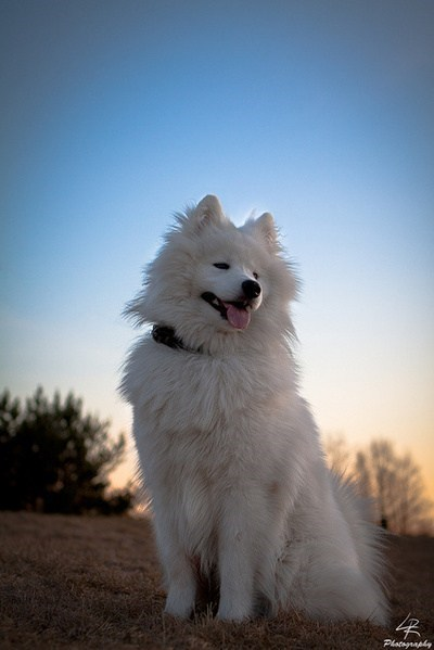 ancient dogs samoyed goggie ob teh week - 6920963840