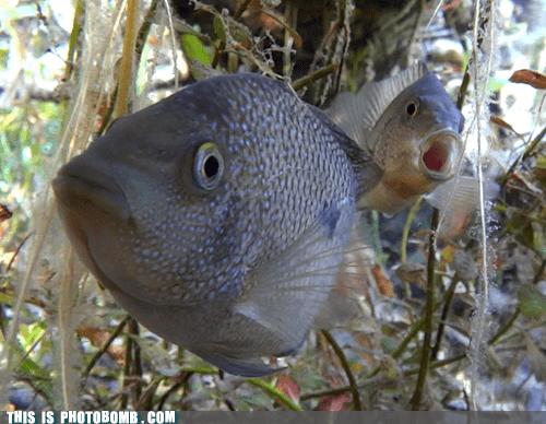 cichlid aquarium fish - 6921370624