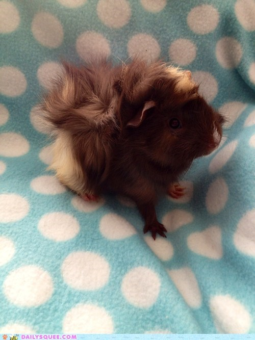 reader squee,guinea pigs,Fluffy,bad hair day,squee