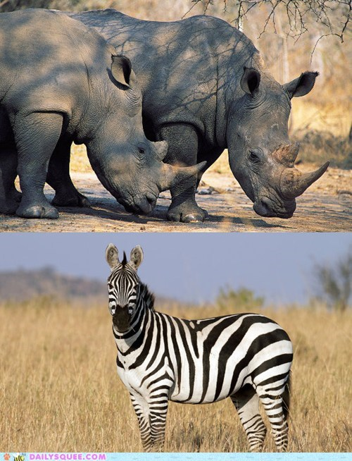 poll,zebra,rhino,versus,rhinocerous,face off,squee spree,squee