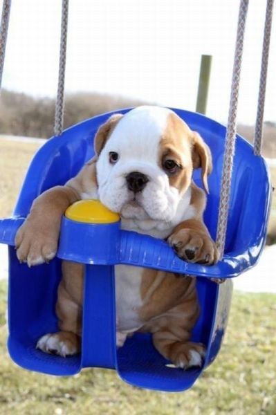 dogs,bulldog,puppies,swing,cyoot puppy ob teh day
