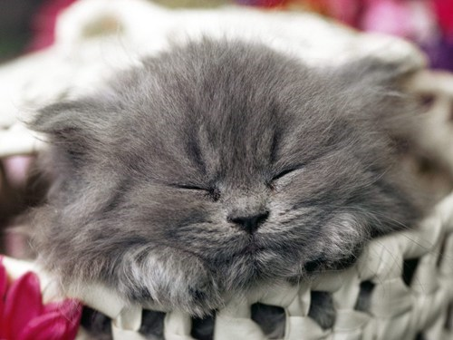 cyoot kitteh of teh day,kitten,baskets,Cats,sleeping