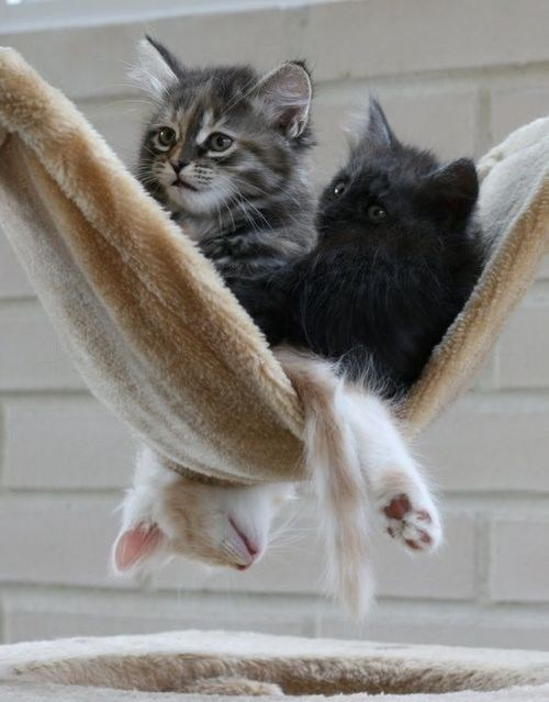 cyoot kitteh of teh day kitten lazy hanging chillin hammocks Cats - 6924280320