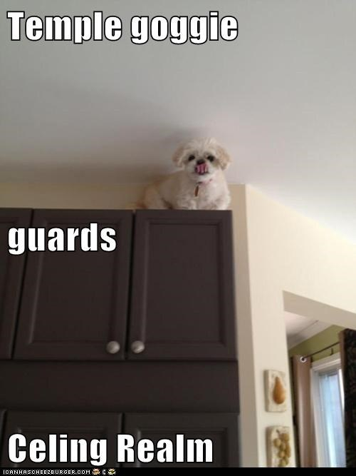 dogs,ceiling dog,cupboards,guard dog,ceiling cat,Temple of the Dog,up high,what breed