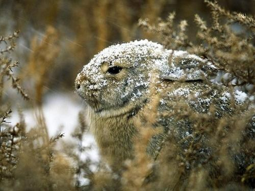 Bunday,snow,cottontail,winter,rabbit,bunny,squee