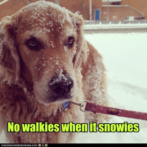 dogs,do not want,snow,walks,winter,golden retriever