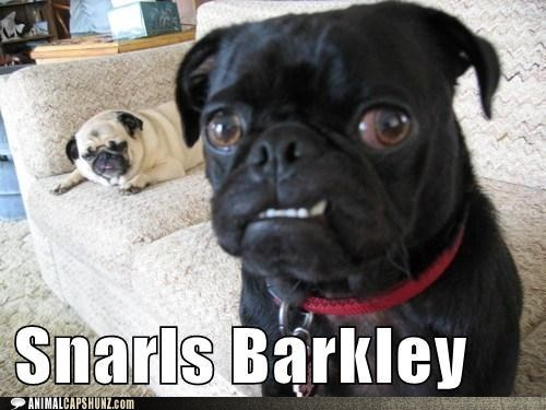 dogs pun teeth gnarls barkley pugs snarl - 6926745088