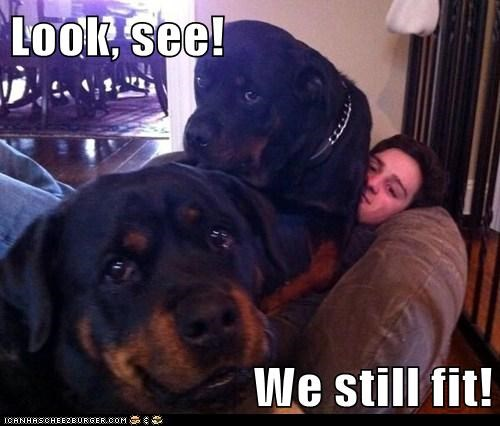 dogs lap dogs if i fits i sits rottweiler smile - 6928713728