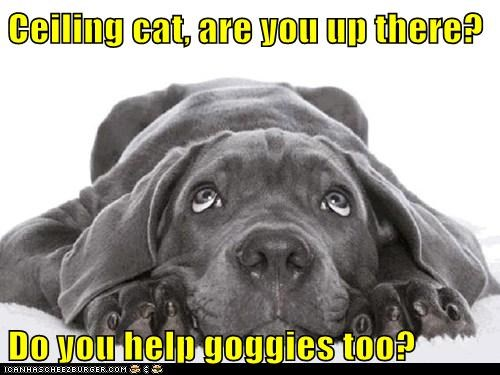 dogs praying ceiling cat help me what breed - 6929783296