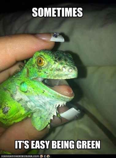 petting lizards green easy iguanas happy