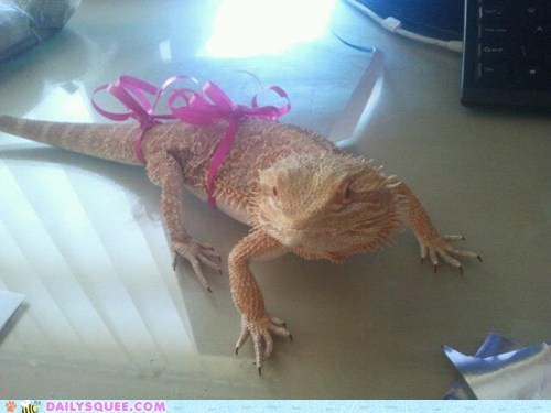 present,reader squee,pets,gift,bearded dragon,lizard,squee,ribbon