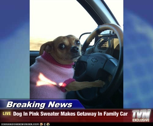 Breaking News - Dog In Pink Sweater Makes Getaway In Family Car