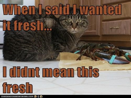 lobster cat meal dinner food funny - 6933841408
