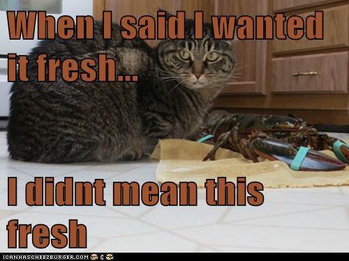 lobster cat meal dinner food funny