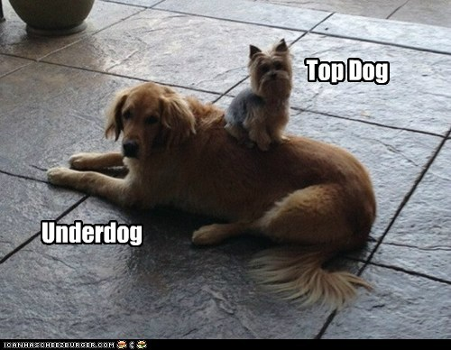 dogs,yorkie,underdog,top dog,golden retriever,yorkshire terrier