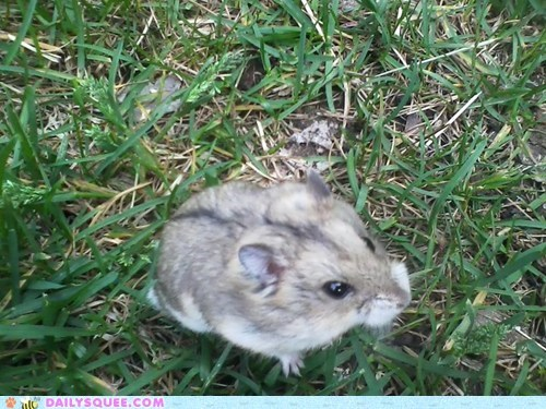 reader squee pets grass outside hamster squee russian dwarf hamster