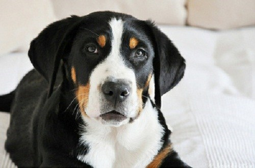 poll dogs goggie ob teh week results winner greater swiss mountain dog
