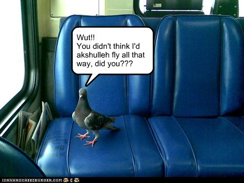 pigeon,flying south,what,riding,bus,flying
