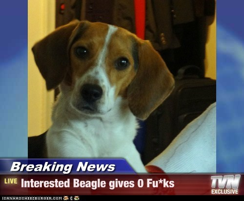 Breaking News - Interested Beagle gives 0 Fu*ks