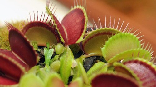 crazy venus fly trap science plant