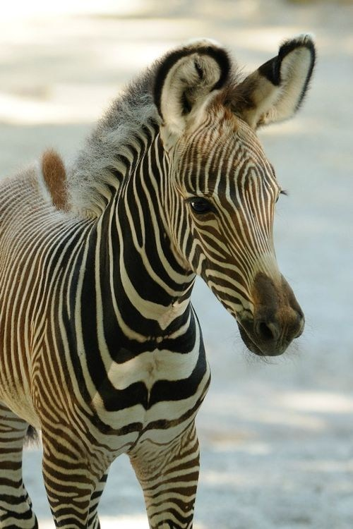 foal fashion baby stylish stripes zebras squee spree squee