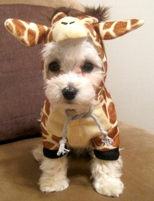 giraffes,animals in clothes,dogs