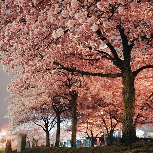 nature,landscape,tree,cherry blossoms