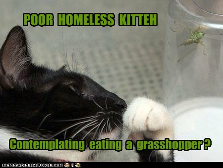 POOR HOMELESS KITTEH Contemplating eating a grasshopper ?