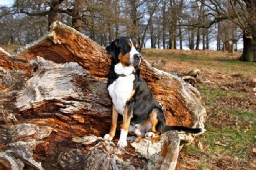 goggie ob teh week herding dog greater swiss mountain dog - 6939346944