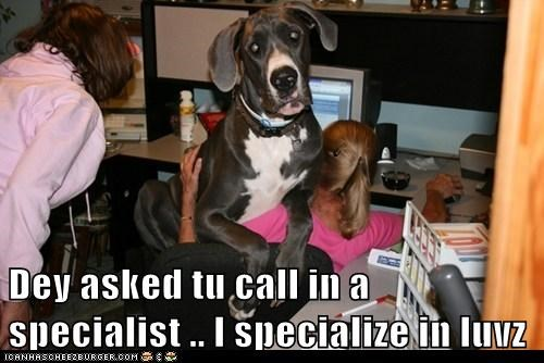 cuddles,dogs,great dane,lap,special,Office,love,specialty
