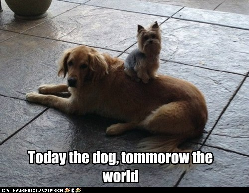 dogs,world domination,power trip,top dog,golden retriever,yorkshire terrier