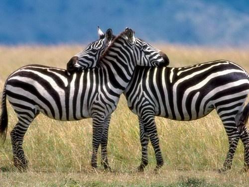 hugs stripes zebras squee spree squee - 6940896256