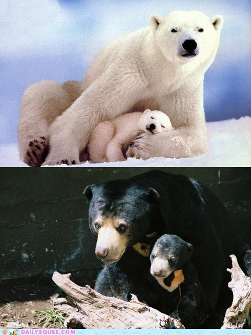 sun bear,versus,polar bear,face off,squee spree,squee