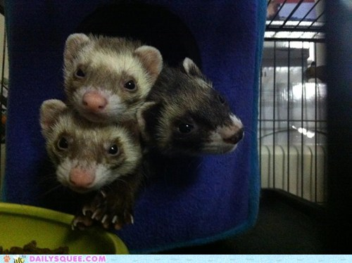 squeeze,reader squee,pets,ferrets,cube,squee