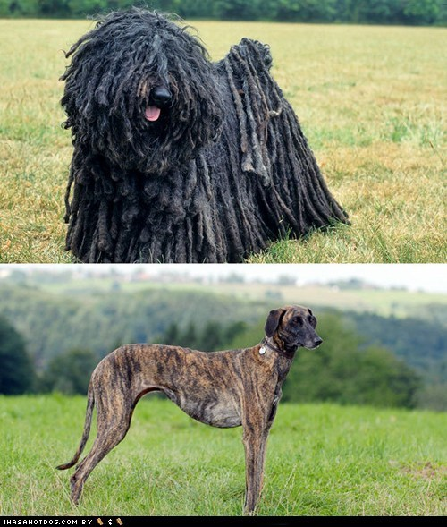 dogs,puli,versus,goggie ob teh week,face off,sloughi