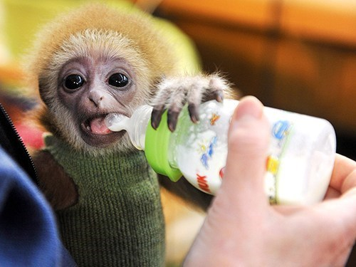 monkeys,people pets,cute,around the interwebs,squee