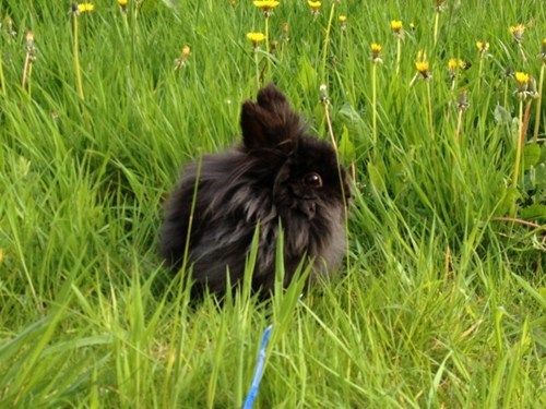 Bunday dandelions Fluffy rabbit bunny squee