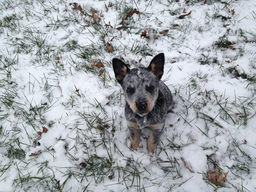 dogs snow puppies blue heeler frosty cyoot puppy ob teh day