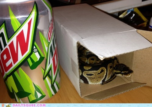 reader squee,pets,box,if i fits i sits,ball python,squee,snake