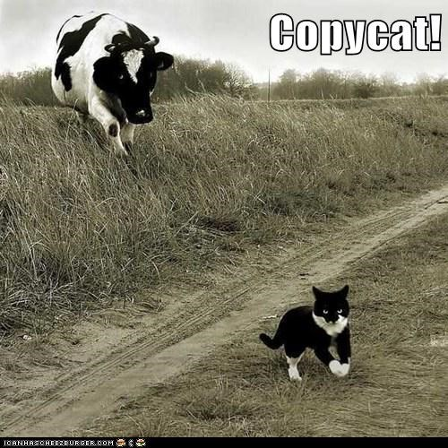 copycat chasing angry Cats cows - 6948277760