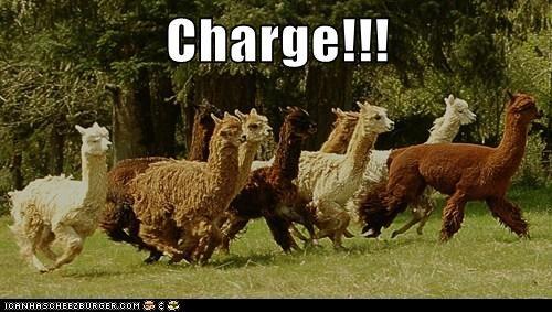 stampede charge running llamas alpacas - 6948795392