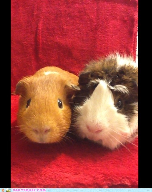 reader squee pets guinea pigs squee whiskers - 6951262976