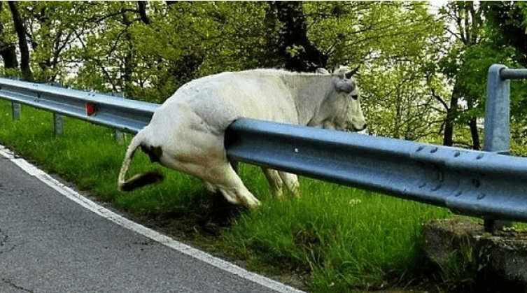 funny cows bad day funny photos cows - 6951429