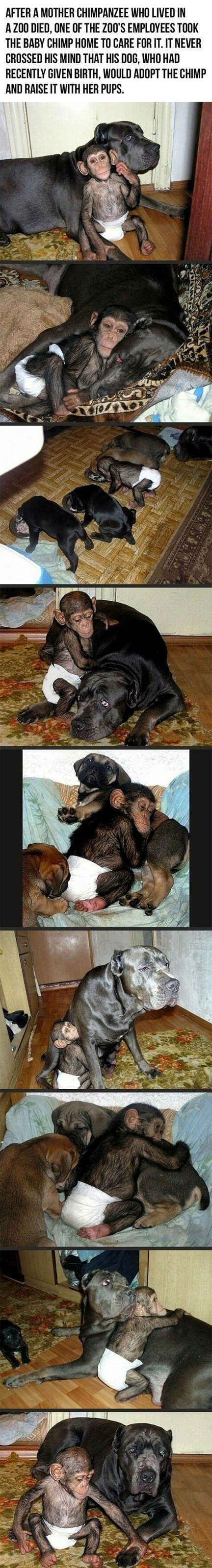 dogs chimpanzee adoption mother zoo chimp mom - 6952236032