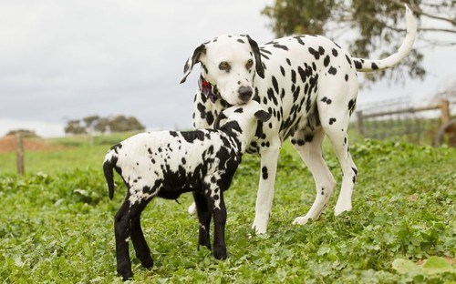 dogs,dalmatian,Interspecies Love,lamb,squee,spots